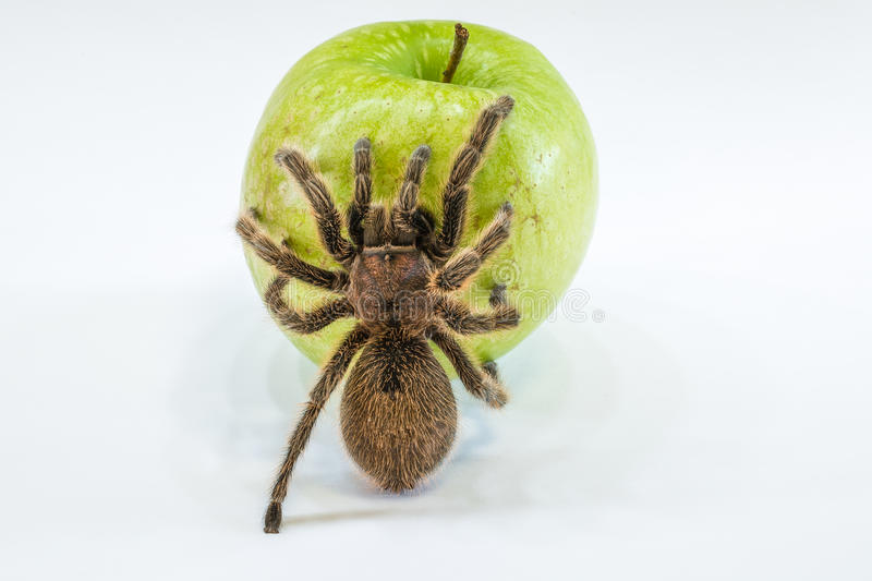 Tarantula on apple. A tarantula spider on a green apple, isolated on white background. Concept poisoned apple, cancer, disease royalty free stock photography