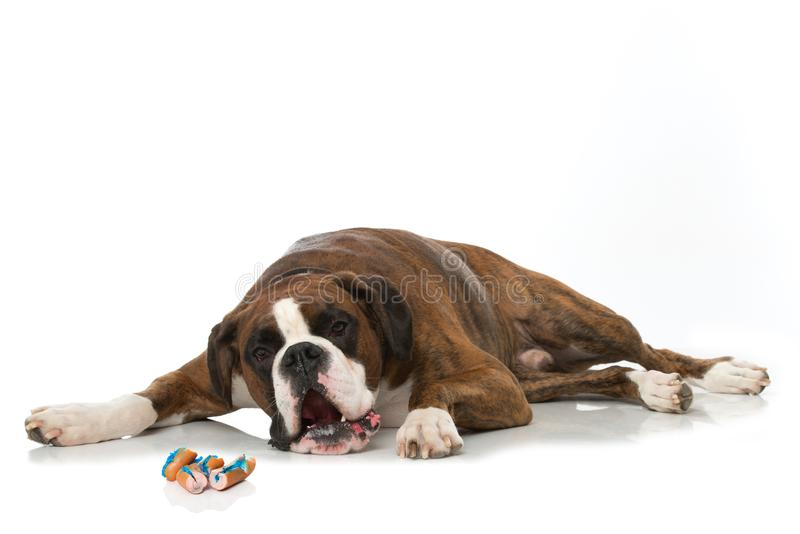 Poisoned boxer dog. Lying isolated on white background stock image
