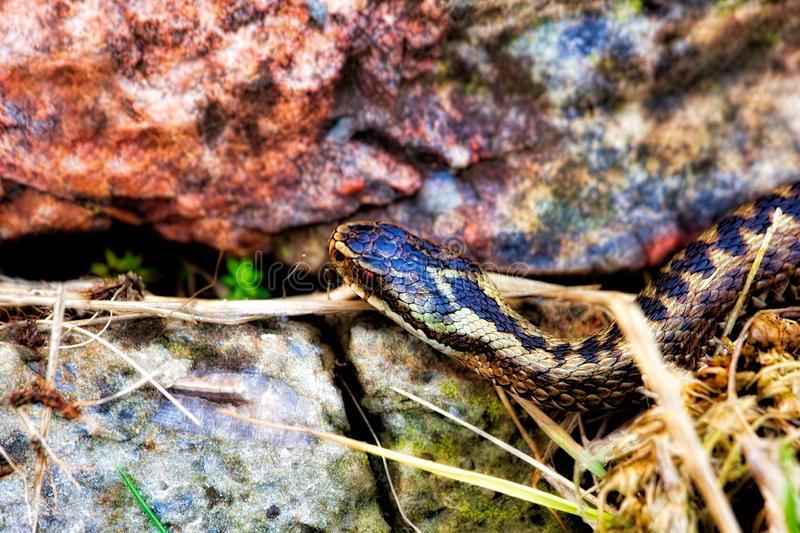 Poisonous adder slithering over rocks stock photo