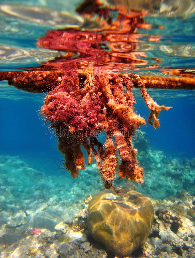 Poisonous algae in the Red Sea stock photography