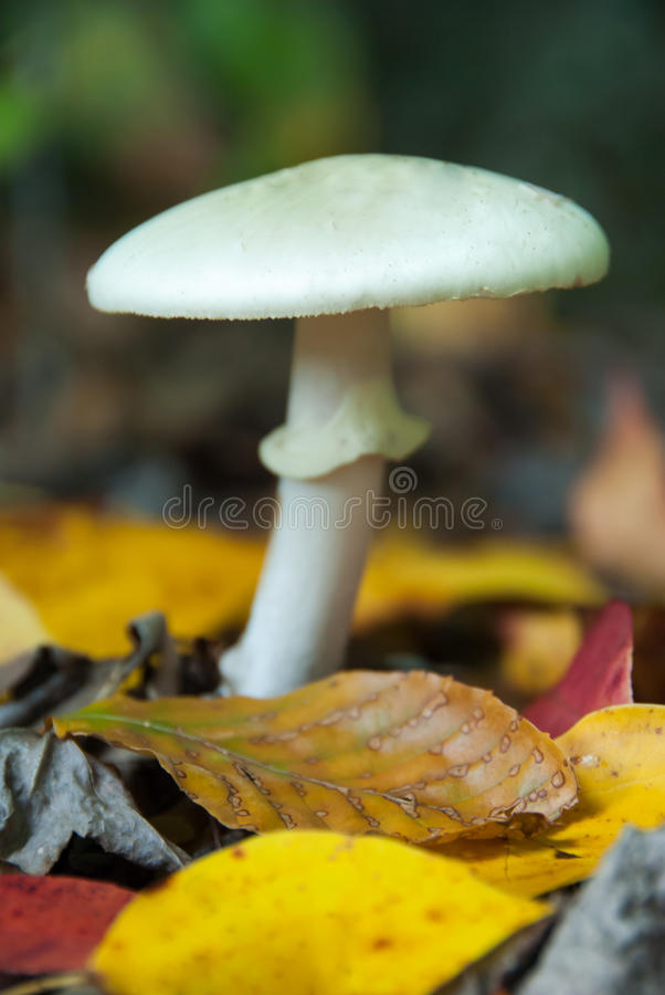 Free Poisonous Amanita Fall Mushroom II Royalty Free Stock Images - 30401609