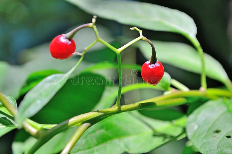 Download Poisonous Berries stock image. Image of decorative, detail - 20793275