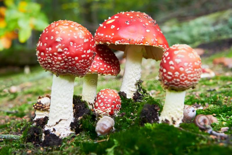 Poisonous Fly Agaric mushrooms in the forest. A low-angle view of a group of colorful, poisonous fly agaric mushrooms in the german forest. They are growing in stock photos