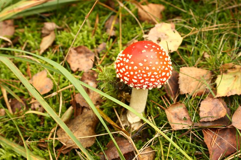 Poisonous fungus. Fly agaric, Amanita muscaria poisonous fungus with red cap in forest royalty free stock image
