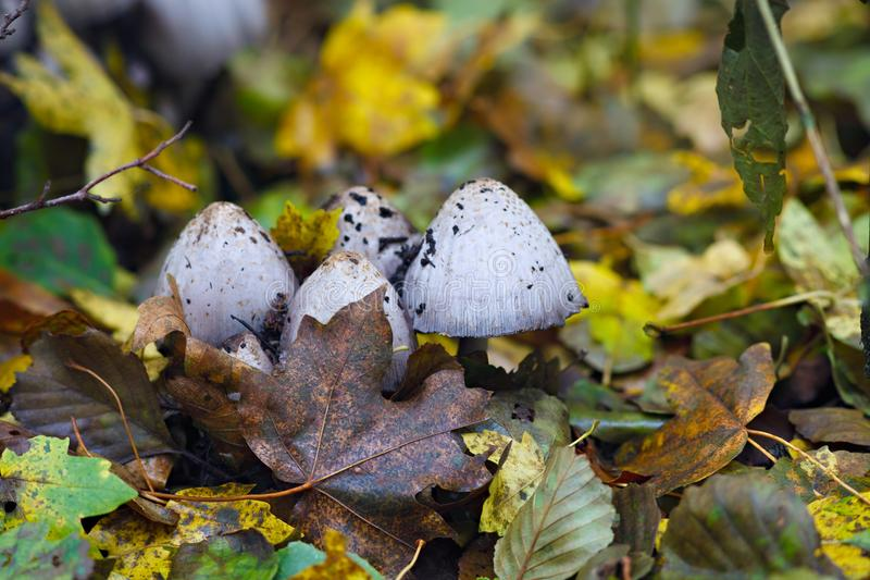 A poisonous mushroom is photographed close-up in the forest.  royalty free stock photos