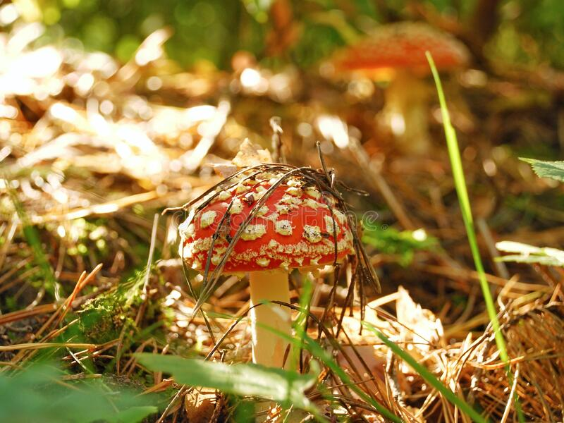 Poisonous mushroom red fly agaric in the forest close-up.  Beautiful card.  mushroom in moss and pine needles. Mushroom in the poisonous mushroom red fly agaric stock photography