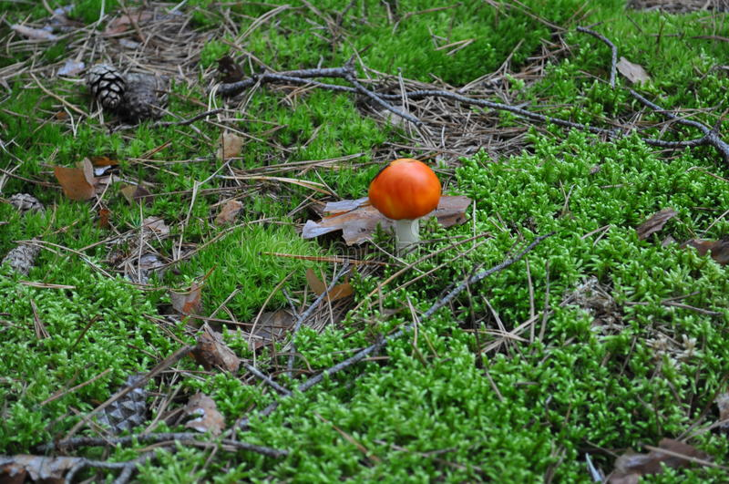 A poisonous mushroom royalty free stock images