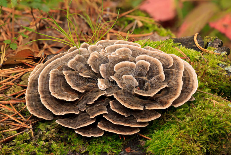 Download Poisonous mushrooms. stock image. Image of leaves, fungi - 26456873