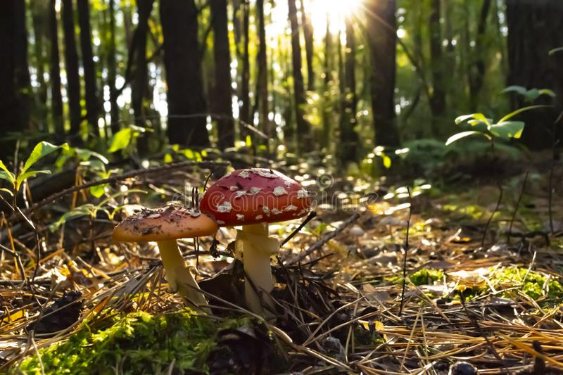 Poisonous mushrooms in the forest. Amanita muscaria. Fly agaric stock photo