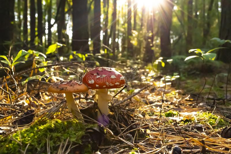 Poisonous mushrooms in the forest. Amanita muscaria. Fly agaric stock image