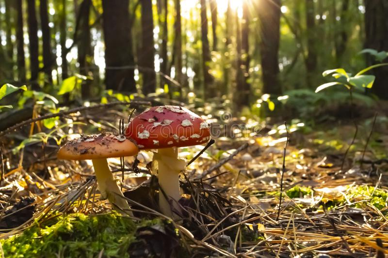 Poisonous mushrooms in the forest. Amanita muscaria. Fly agaric stock photography