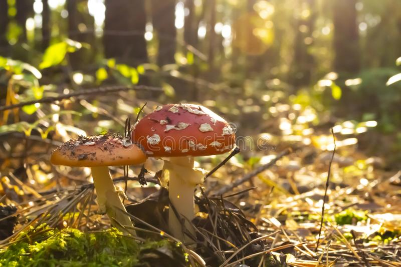 Poisonous mushrooms in the forest. Amanita muscaria. Fly agaric royalty free stock images