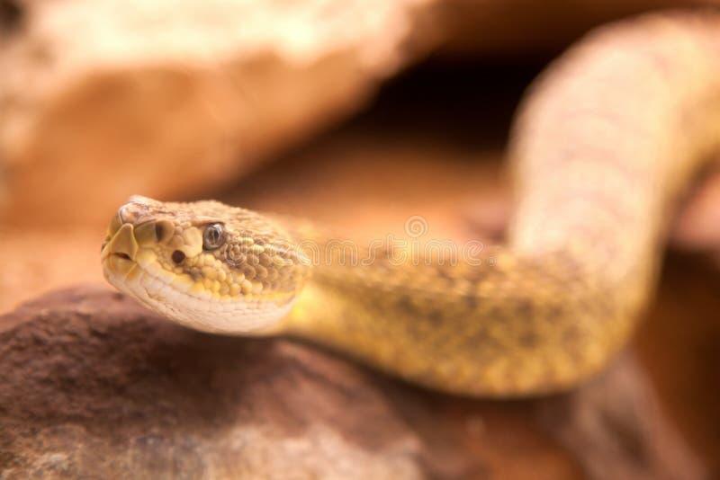 Poisonous snake, Malayan pit viper Calloselasma rhodostoma. stock photography