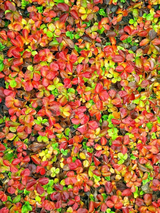 poisonous strawberry stock photo