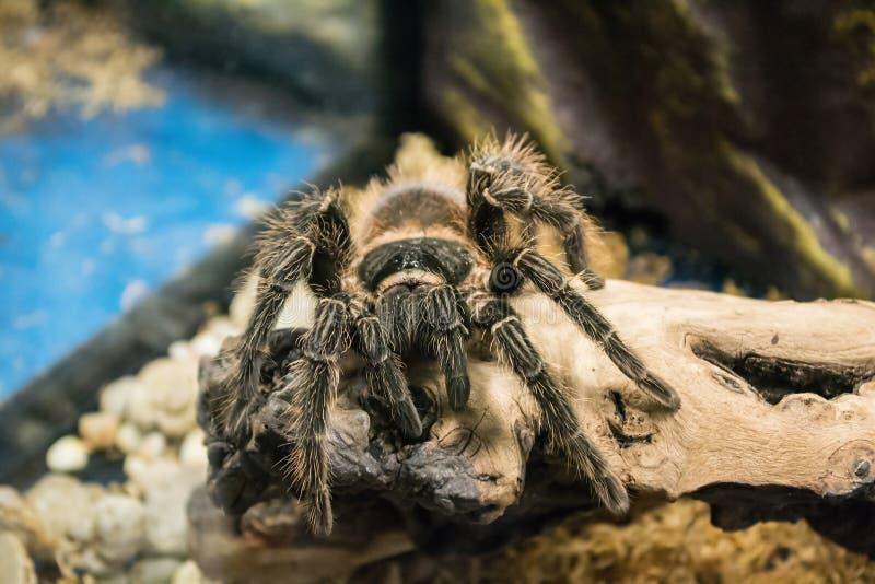 Poisonous tarantula terrarium. Brown Tarantula. Auska. Poisonous tarantula terrarium. Big Brown Tarantula. Auska stock photos
