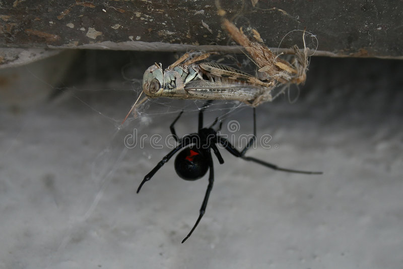 Poisonus spider royalty free stock photography
