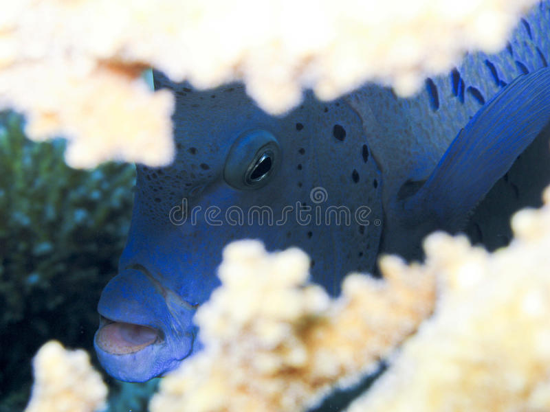 Poisson ange geographe - Yellowbar angelfish obrazy royalty free