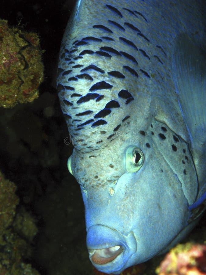 Poisson ange geographe - Yellowbar angelfish royalty free stock image