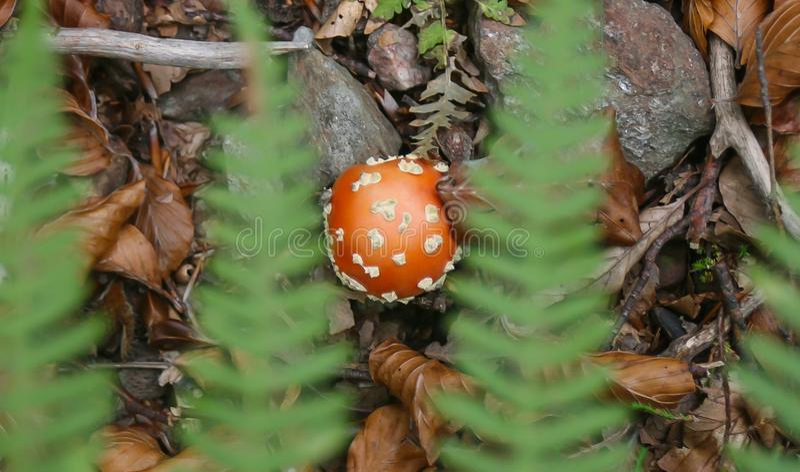 Poisson champinjon arkivfoton
