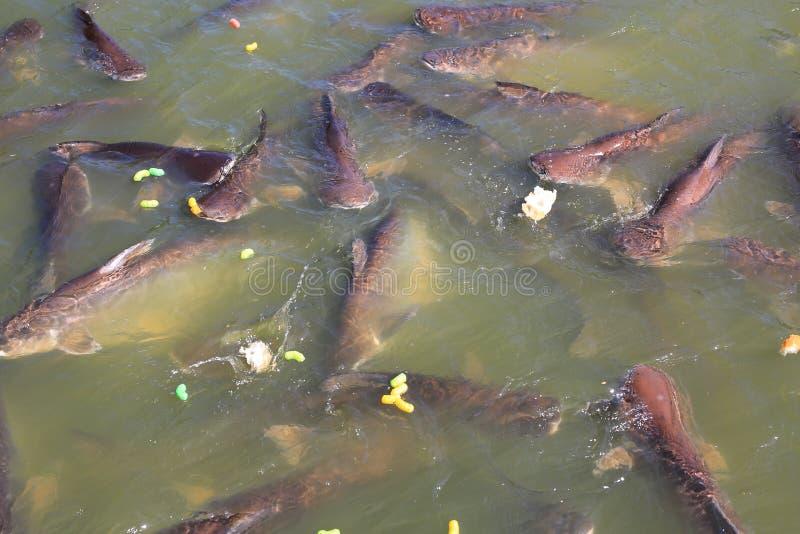 Poisson-chat rayé de alimentation dans l'étang Requins iridescents thaïlandais mangeant de la nourriture en rivière photo stock