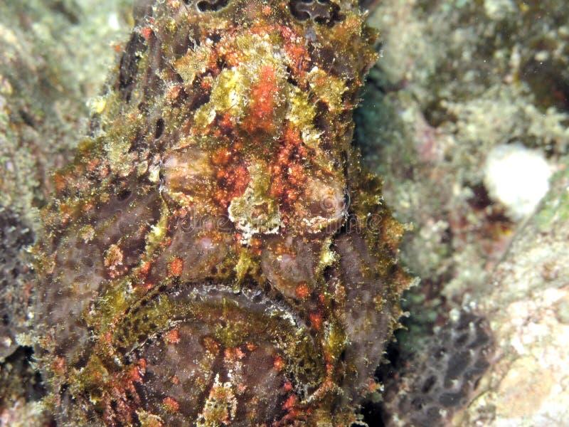 Poisson crapaud - kikkervissen royalty-vrije stock afbeeldingen