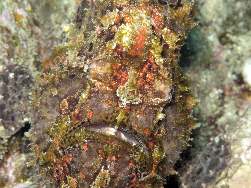 Poisson crapaud - kikkervissen royalty-vrije stock foto's
