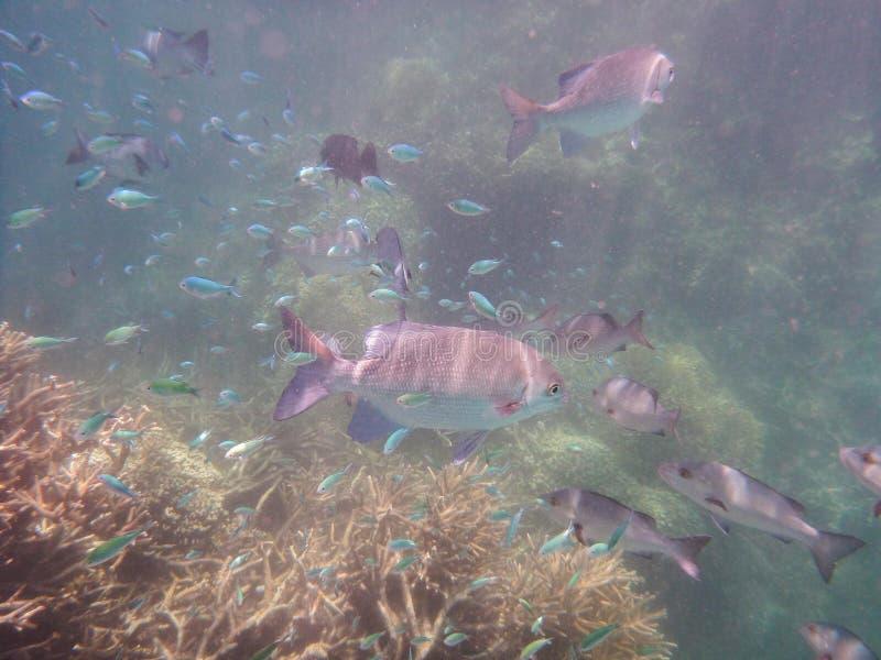 Poisson géant dans la Grande Barrière de corail images stock