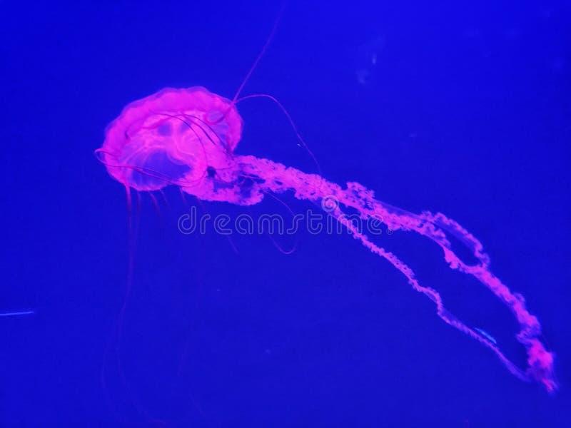 Poisson-méduse image libre de droits