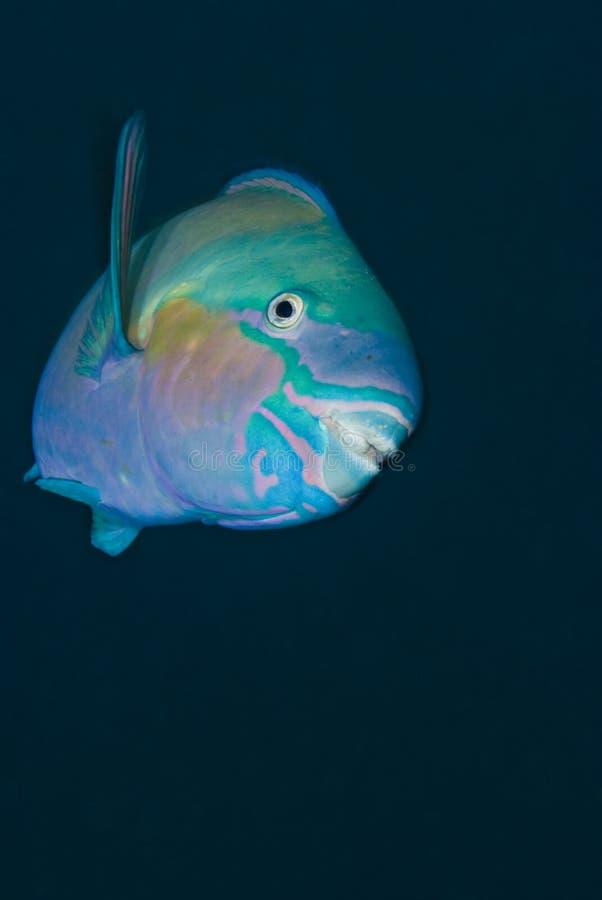 Poisson perroquet de Bullethead sur un fond bleu. photographie stock