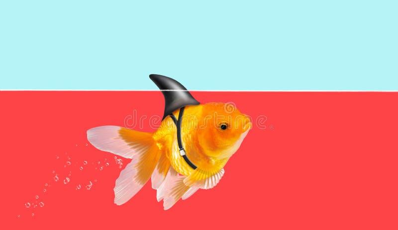 Poisson rouge avec la natation d'aileron de requin à l'arrière-plan de l'eau et de ciel bleu, poisson d'or, poissons décoratifs d image libre de droits