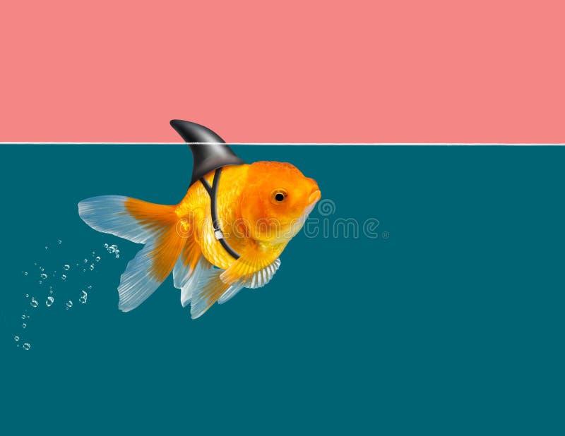 Poisson rouge avec la natation d'aileron de requin à l'eau verte et à l'arrière-plan rose de ciel, poisson décoratif d'aquarium P image libre de droits