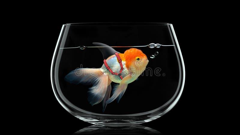 Poisson rouge avec le bain d'aileron de requin dans le bolw de poissons, poisson d'or dans l'eau noire Media m?lang? illustration de vecteur