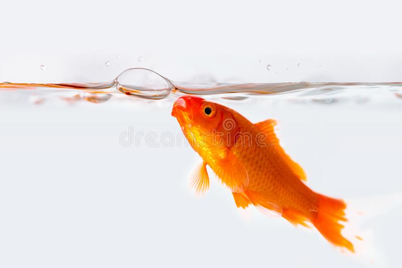 Poisson rouge avec le bulle d'air dans l'aquarium en verre photos libres de droits
