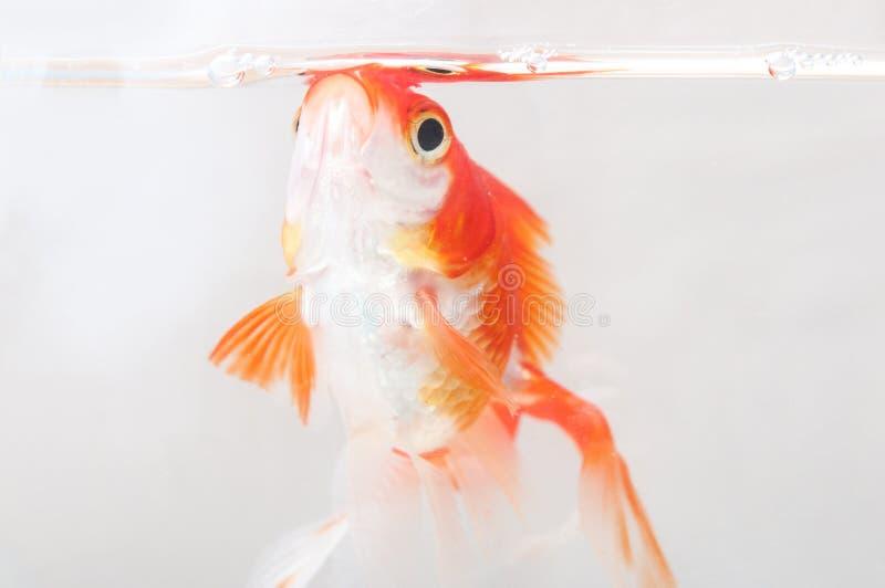 poisson rouge dans le pot transparent photographie stock