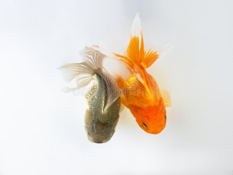 Poisson rouge de duo nageant sur le fond blanc, deux poissons d'or, poissons décoratifs d'aquarium, poissons d'or photo stock
