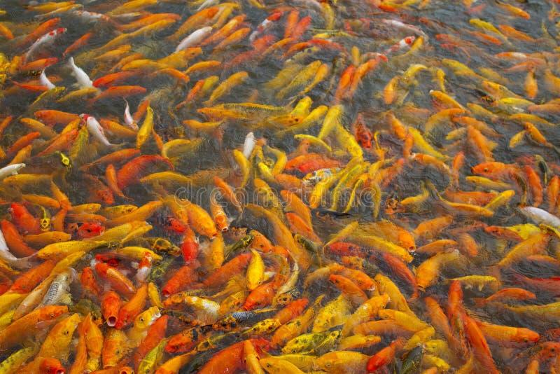 Poisson rouge de koi photo stock image du bouche mass for Aliment pour poisson rouge