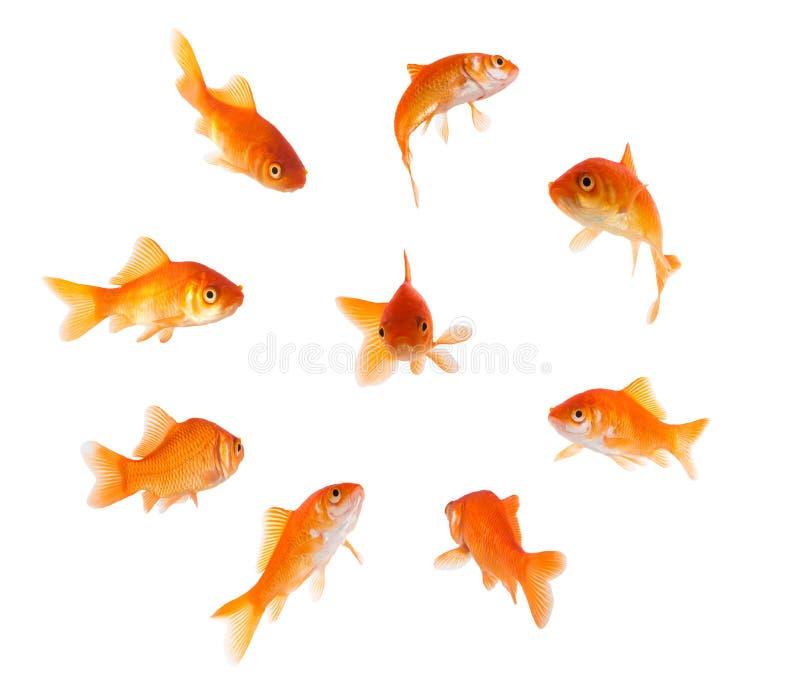 Poisson rouge en cercle image stock image du fond for Prix de poisson rouge