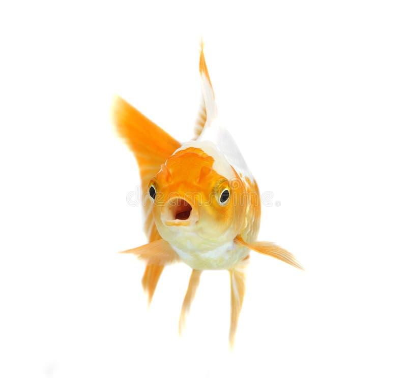 Poisson rouge orange sur le fond blanc photo libre de for Poisson rouge reste fond aquarium
