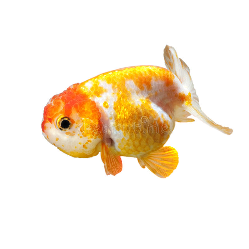 Poisson rouge (Ranchu) photographie stock