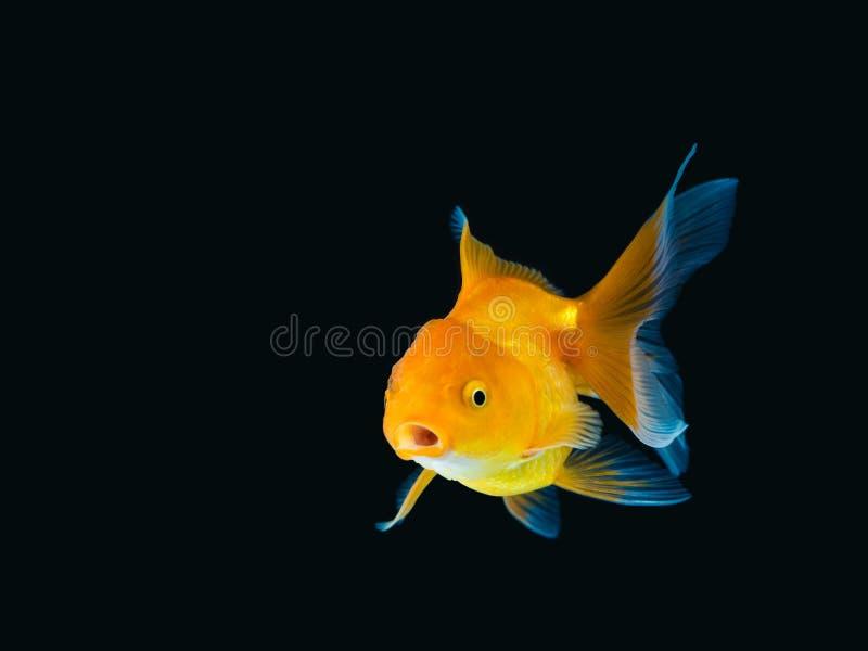 Poisson rouge sur le fond noir, natation de poisson rouge sur le fond noir, poisson d'or, poissons décoratifs d'aquarium, poisson photographie stock libre de droits
