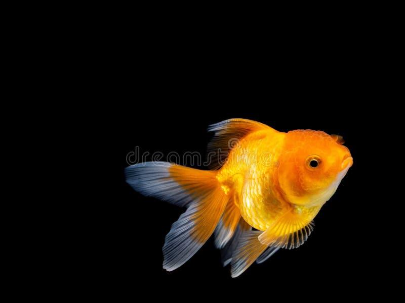 Poisson rouge sur le fond noir, natation de poisson rouge sur le fond noir, poisson d'or, poissons décoratifs d'aquarium, poisson photo stock