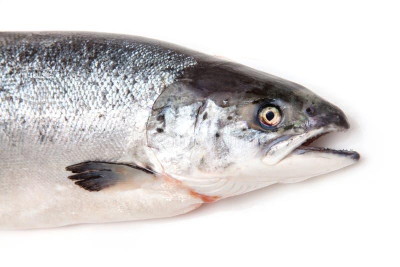 Poissons écossais de saumons atlantiques photographie stock
