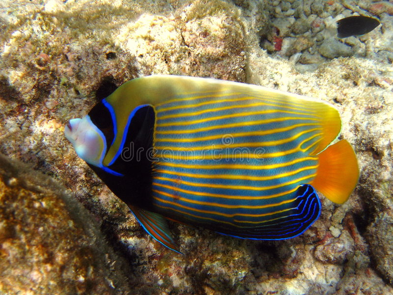 Poissons : Angelfish d'empereur image stock