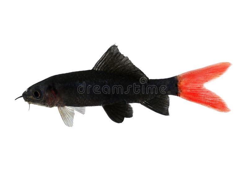 Poissons bicolores d 39 aquarium d 39 epalzeorhynchos de poisson for Mini poisson aquarium