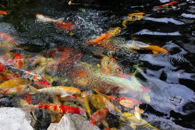 Poissons colorés de carpe ou poissons de koi dans un étang de l'eau photos libres de droits
