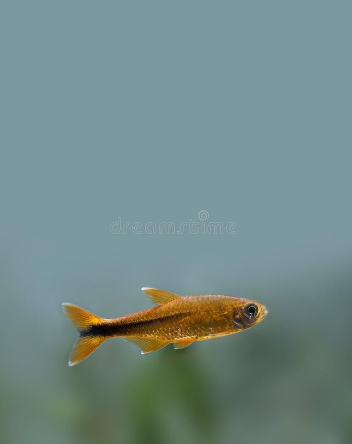 Poissons colorés profondément dans le réservoir d'aquarium Goldfish image libre de droits