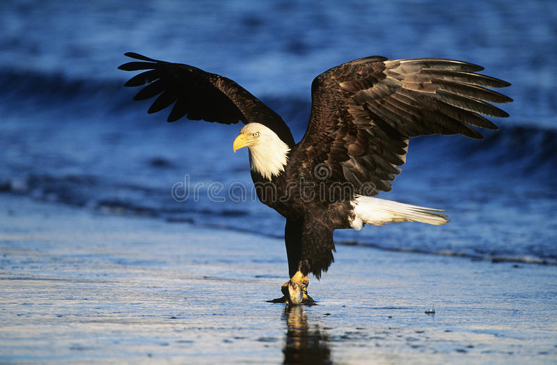 Poissons contagieux chauves d'Eagle en rivière photos libres de droits