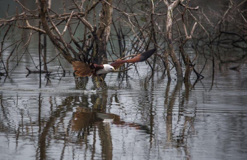 Poissons contagieux de cerf-volant en vol images libres de droits