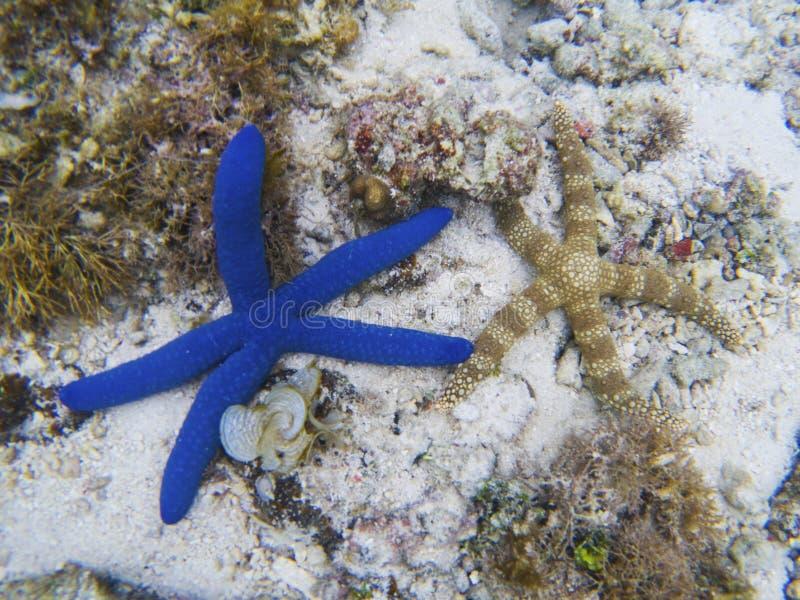 Poissons d'étoile bleue sur le fond marin blanc de sable Photo sous-marine d'étoiles de mer tropicales photographie stock libre de droits