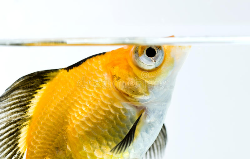 poissons d'or photo stock